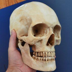 CRANIO Luz original do crânio – crânio médico feito à mão cinzento da réplica do crânio humano da resina R$220,00  FRETE GRATIS