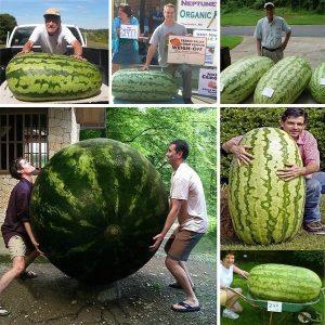 Sementes De Melancia Gigante Do Jardim & Farm Família Gigante 50 pcs de Frutas orgânicas Interesse Vegetal Fácil de plantar R$35,00 FRETE GRATIS  SITE aqui www.DUGEZZU.com.br boas compras