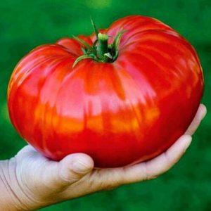 SEMENTE 100 Unidades / pacote Sementes De Tomate Bife Vermelho Sibirsky Gigant Grande Super Grande Sementes De Tomate Siberiano FRETE GRATIS