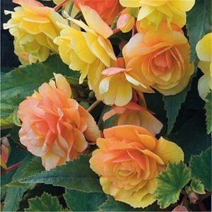 EMENTE 50 pcs Bela Begônia Sementes de Flores laranja Perene Em Vasos de Jardim Bonsai FRETE GRATIS