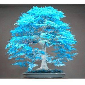 SEMENTE 20 pçs / saco bonsai sementes de árvores de bordo azul Bonsai sementes de árvores. semente de bordo azul-céu japonesa rara. Plantas de varanda para horta  Www.DUGEZZU.Com.Br ANTECIPE SUAS COMPRAS DEMORA ALGUNS DIAS PRA VOCE RECEBER FIQUE A VONTADE E BOAS COMPRAS …FRETE GRATIS                      EMPRESA facebook.com/dugezzurockshop/ QUER VER TODOS OS PRODUTOS ANTES DE COMPRAR www.facebook.com/dugezzu/photos_all………. FRETE GRATIS   Comprar em www.DUGEZZU.com.br ou no seu CELULAR ou AQUI na LOJA